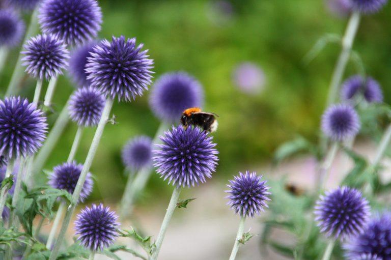 Tree Bumblebee in August